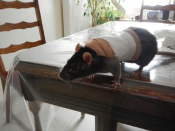 Le rat saucisson - Protéger une plaie après opération - Page 9 Medium